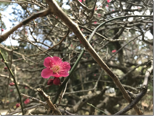 smell the plum blossoms (11)