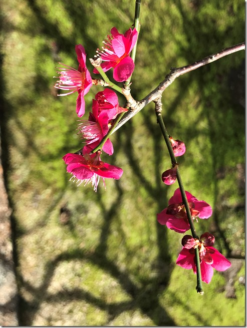smell the plum blossoms (12)