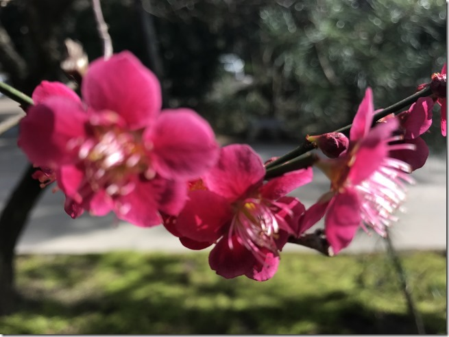 smell the plum blossoms (19)