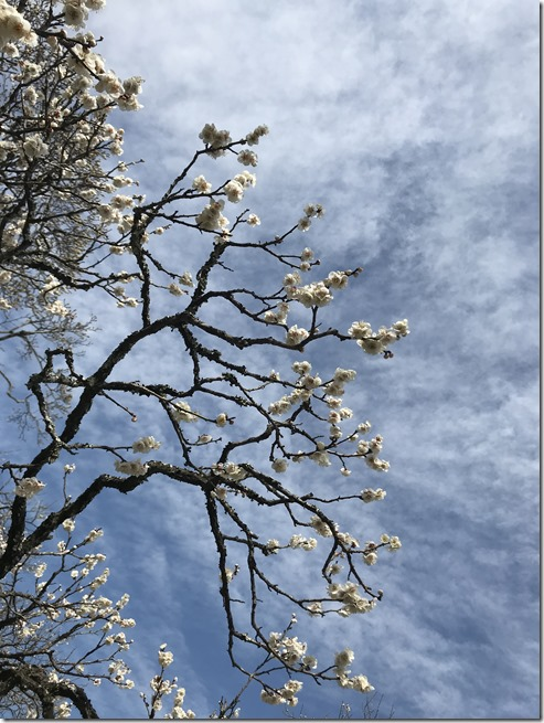 smell the plum blossoms (20)
