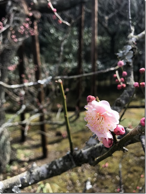smell the plum blossoms (5)