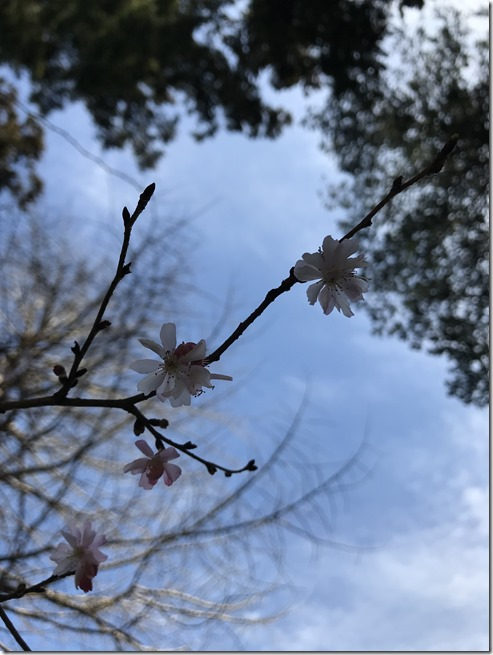 smell the plum blossoms (8)
