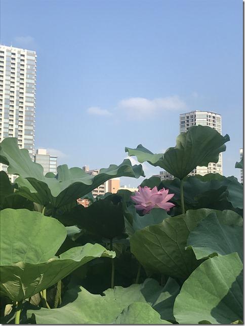 lotus pond ueno (10)