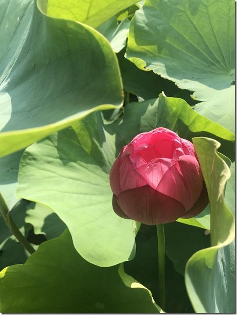 lotus pond ueno (20)