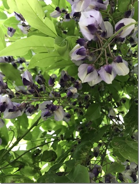 wisteria (31)
