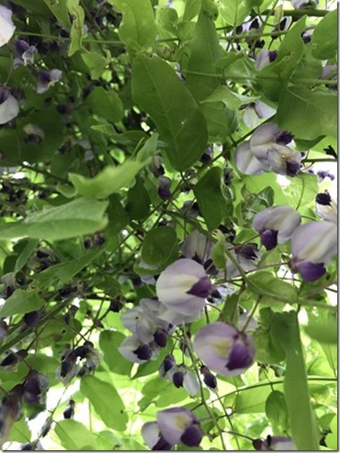 wisteria (32)
