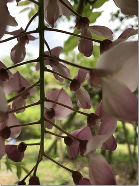 wisteria (41)