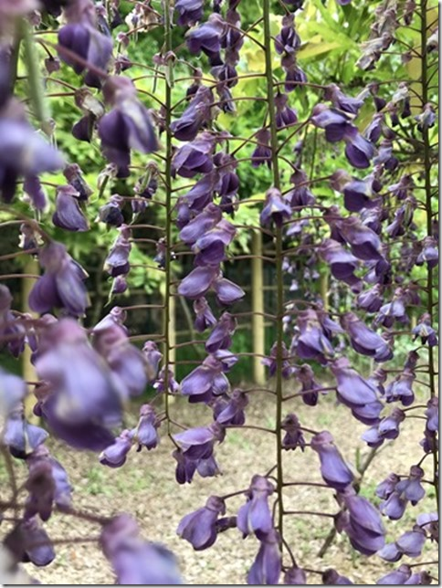 wisteria (42)