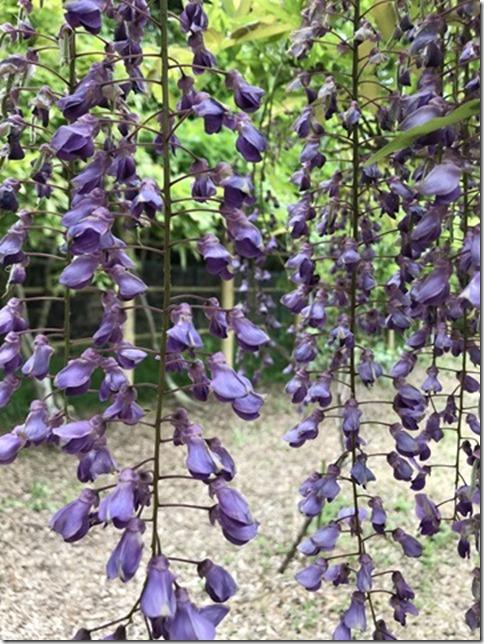 wisteria (44)