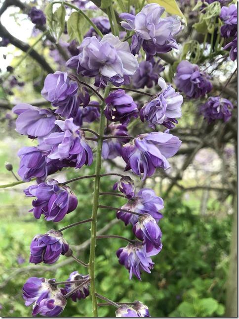 wisteria (47)