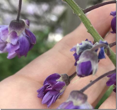 wisteria (50)