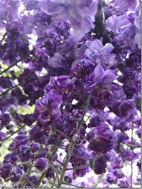 wisteria (51)