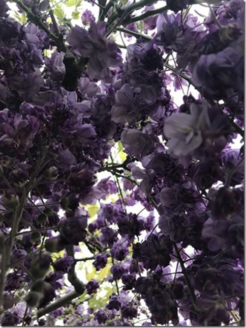 wisteria (52)