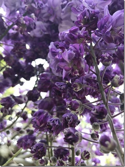 wisteria (53)