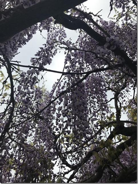 wisteria (62)