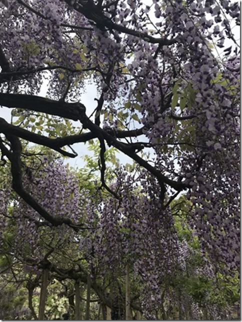 wisteria (64)