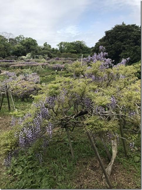 wisteria (65)