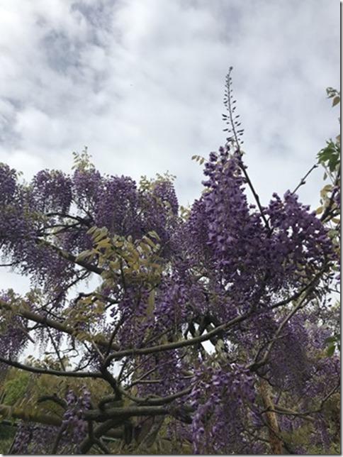 wisteria (69)