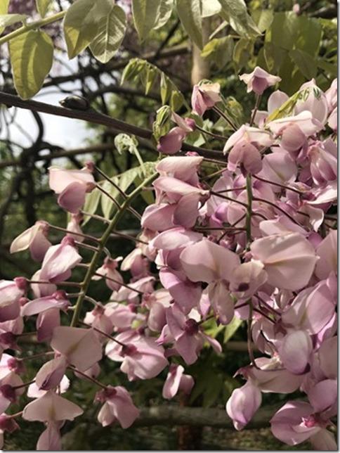 wisteria (70)
