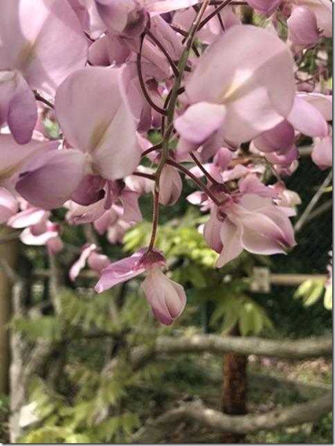wisteria (72)
