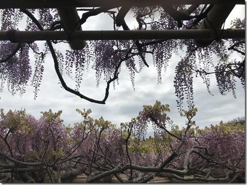 wisteria (78)