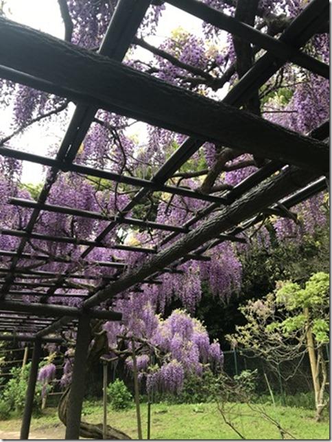 wisteria (82)