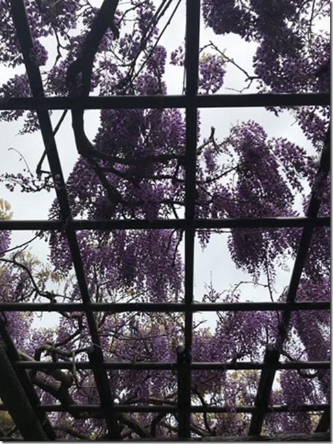 wisteria (85)