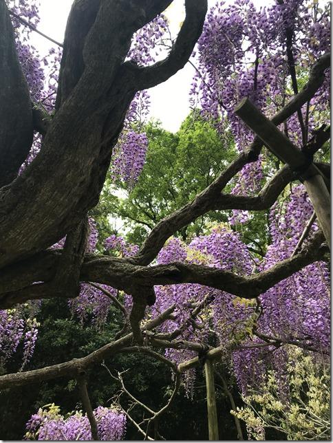 wisteria (86)