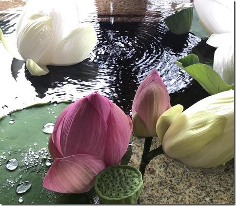 lotus flowers (14)