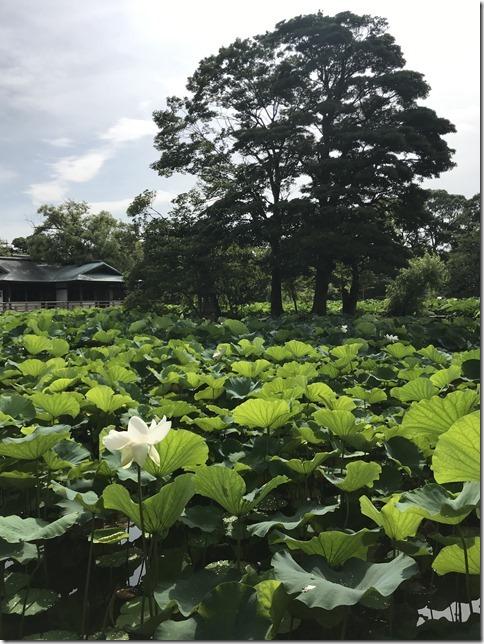 lotus flowers (6)