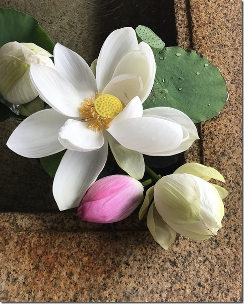 lotus flowers (9)